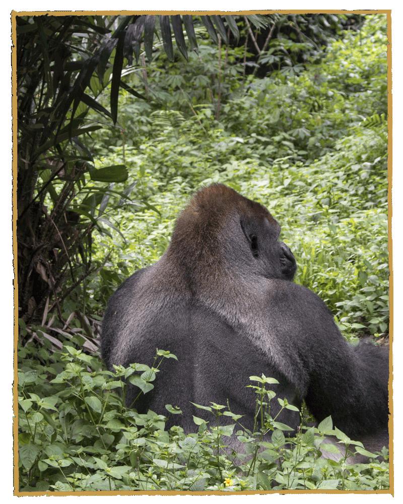 sanyusafaris-gorilla-trekking